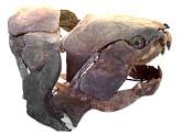 fossil fish skull dunkleosteus