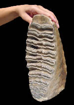 mammoth fossil tooth