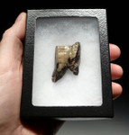 LMX020 - INTACT SOUTH AMERICAN TOXODON MOLAR TOOTH WITH PARTIAL ROOTS