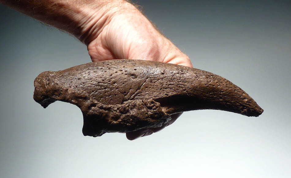 Giant Sloth Claws LARGEST PARAMYLODON CL...