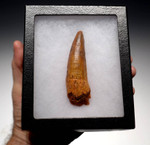 DT5-183 - NEARLY 4 INCH SPINOSAURUS DINOSAUR TOOTH