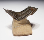 "TRX341 - LARGE 3.5 INCH ""FLOATING"" DEVONIAN ZLICHOVASPIS TRILOBITE WITH FULLY EXPOSED BODY AND SPINES"
