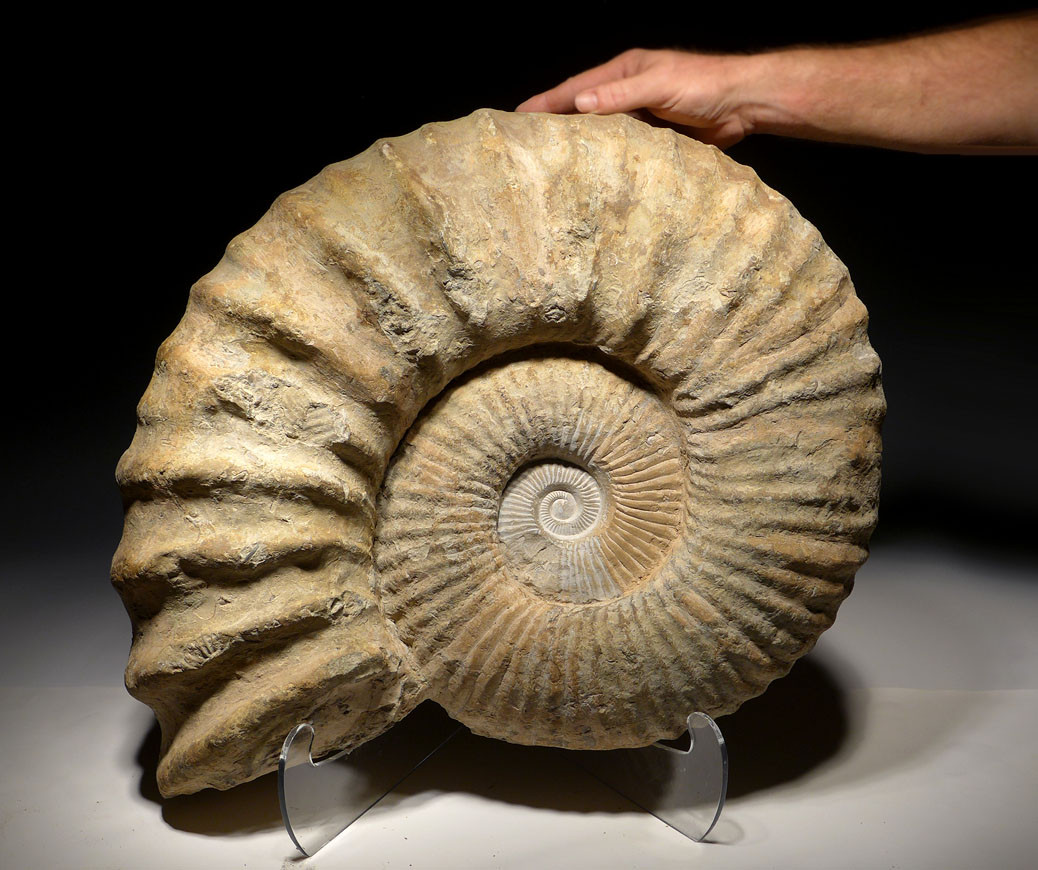 Trex For Sale >> LARGEST AMMONITE ACCENT FOSSIL FOR SALE