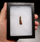 DT4-077 - CRETACEOUS PTERODACTYL PTEROSAUR TOOTH WITH SHARP TIP