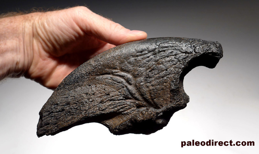 Giant Sloth Claws LARGEST MEGALONYX CLAW...