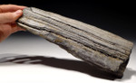 PL158 - RARE LIFELIKE MIOCENE FOSSIL LOG WITH PETRIFIED WOOD NATURAL DETAIL