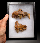 LMX174 - ULTRA RARE CROCUTA EUROPEAN CAVE HYENA  LEFT AND RIGHT FOSSIL MAXILLA WITH THE FINEST PRESERVATION