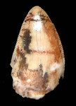 DT12-031 - COLORFUL RARE RUTIODON TRIASSIC PHYTOSAUR TOOTH