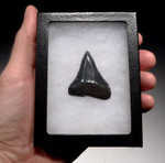 SHX054- COLLECTOR GRADE GREAT WHITE CARCHARIAS FOSSIL SHARK TOOTH