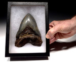 SH6-358 - UNRESTORED MASSIVE 6 INCH MEGALODON SHARK TOOTH WITH BLUE AND CREAM ENAMEL