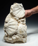 BIV017 - TOWERING FOSSIL GROUP OF PREHISTORIC MIOCENE GIANT SEA SCALLOPS WITH BABY SCALLOPS