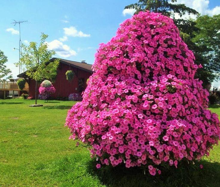 Our Petunia Tree Beat Your Neighbor