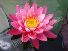Bernice Ikins- Pink Hardy Water Lily