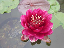 Black Princess- Red Hardy Water Lily
