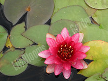 Perry's Baby Red- Red Hardy Water Lily