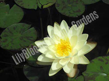 Denver- White Hardy Water Lily