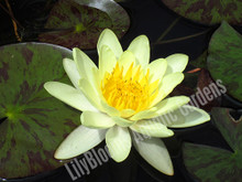 Chromatella- Yellow Hardy Water Lily
