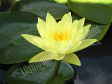 Joey Tomocik- Yellow Hardy Water Lily