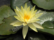 Lemon Mist- Yellow Hardy Water Lily