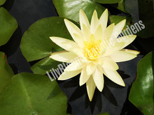 Texas Dawn-Yellow Hardy Water Lily