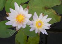 Dauben- Blue Tropical Water Lily