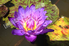 Leopardess- Blue Tropical Water Lily. First day bloom.