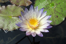Green Smoke- Green Tropical Water Lily