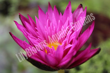 Miami Rose- Pink Tropical Water Lily