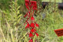 Cardinal Flower- Flowering Hardy Bog Plant