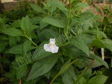 Lavender Musk- Hardy Bog Plant