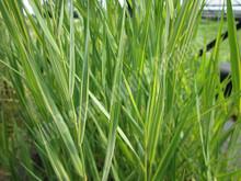 Gold Variegated Reed- Hardy Bog Plant