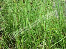Dwarf Horsetail Rush- Hardy Bog Plant