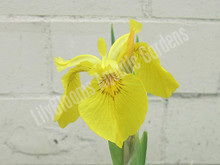 Yellow Flag Iris- Hardy Bog Plant