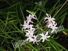 Society Garlic- Tropical Bog Plant