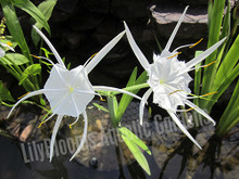 Spider Lily- Tropical Bog Plant