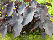 Black Taro- Tropical Bog Plant