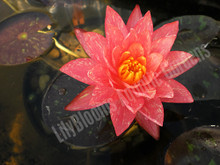Wanvisa- Peach/Orange Hardy Water Lily