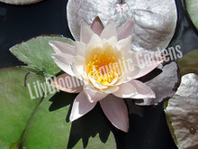 Rose Arey- Pink Hardy Water Lily