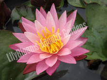 Dallas- Pink Hardy Water Lily