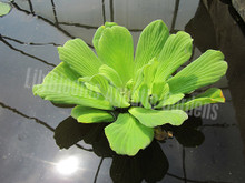 Jumbo Water Lettuce- Floating Plant