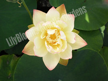 Green Maiden- Hardy Water Lotus