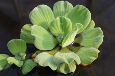 Rosette Water Lettuce