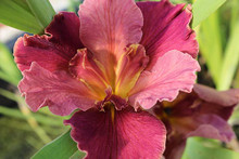Peaches And Wine - Hardy Louisiana Iris