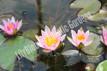 Nymphaea Laydekeri Lilacea - Dwarf Pink Hardy Water Lily