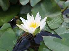 Snow Princess - White Dwarf Hardy Water Lily