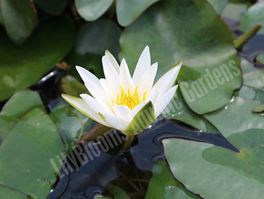 Snow Princess - White Dwarf Hardy Water Lily
