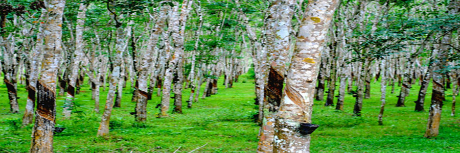 Hevea Brasiliensis Rubber Trees