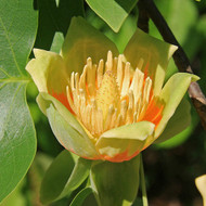 American Tulip Tree (2 Pack)