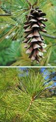 White Pine Tree (2 Pack)