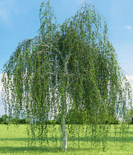 Weeping White Birch Tree